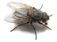 Durbanville Cluster Fly