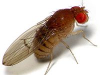 Durbanville Fruit Fly